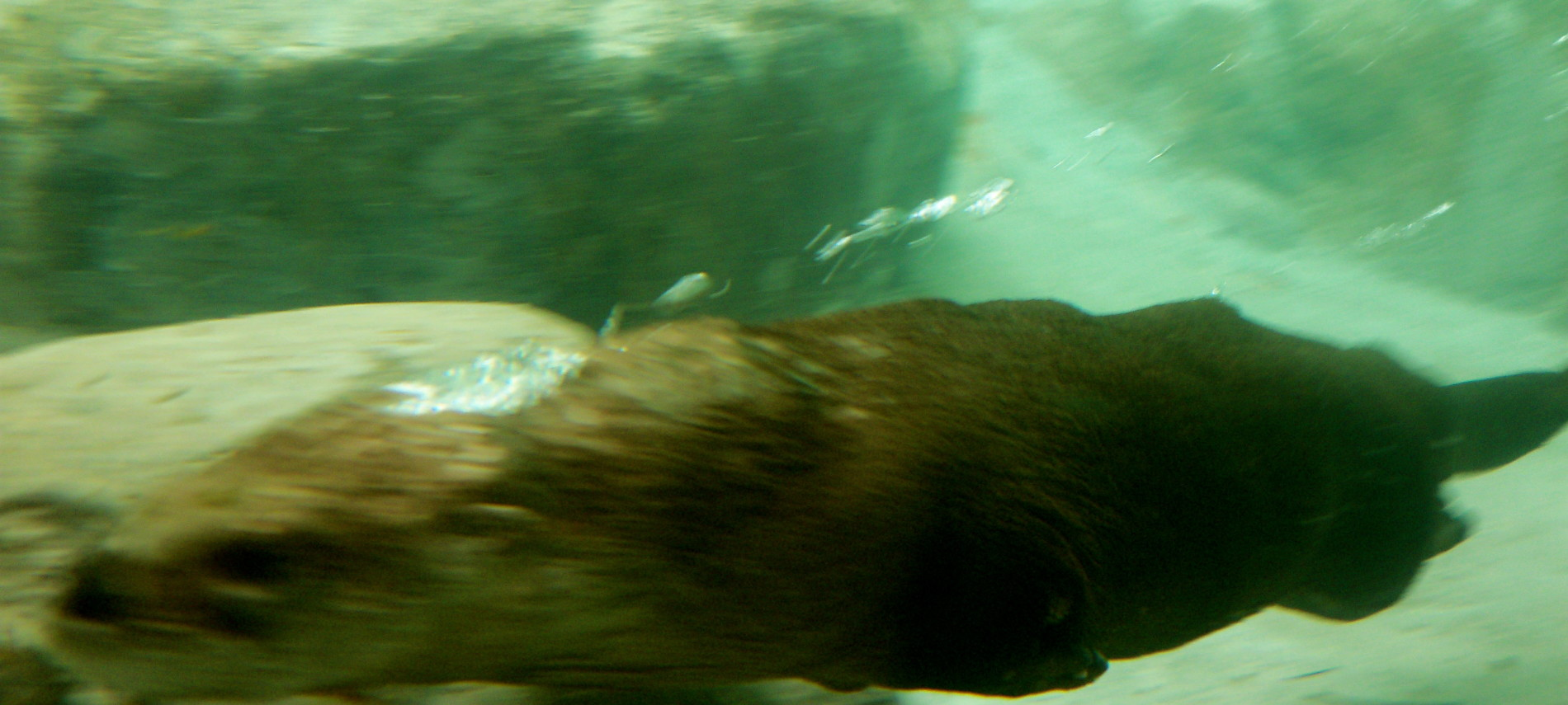 Otter swimming in otter park