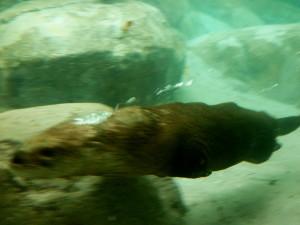 Otter swimming in otter park