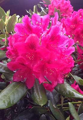 Lovely fuchsia pink rhododendron bloom in garden