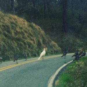 Wild Turkeys in the road