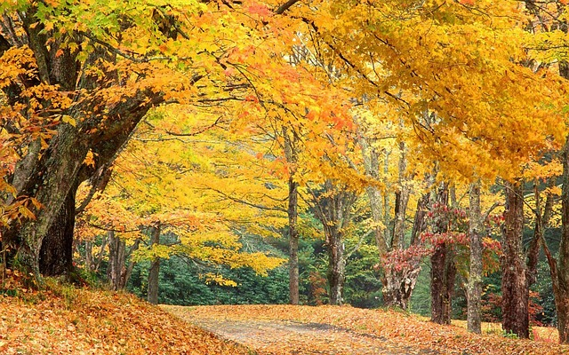 Golden-leaved trees create canopy over north carolina trail
