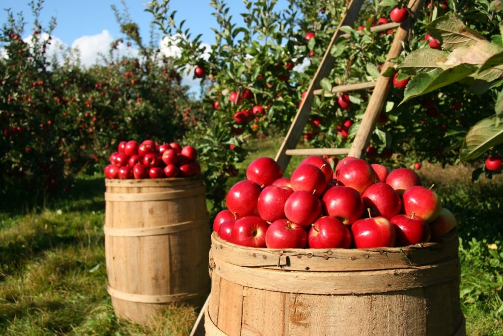 2 overflowing barrels of red apples in front of ladder and trees.