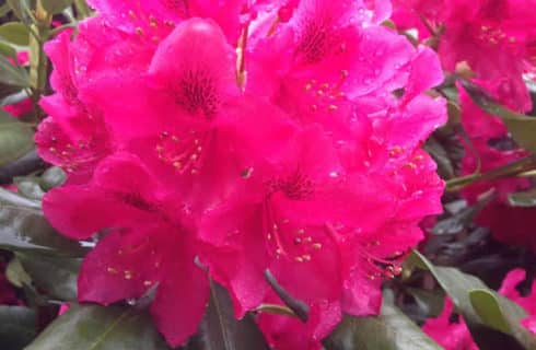Glowing bright pink flowers glisten in the garden after being watered.
