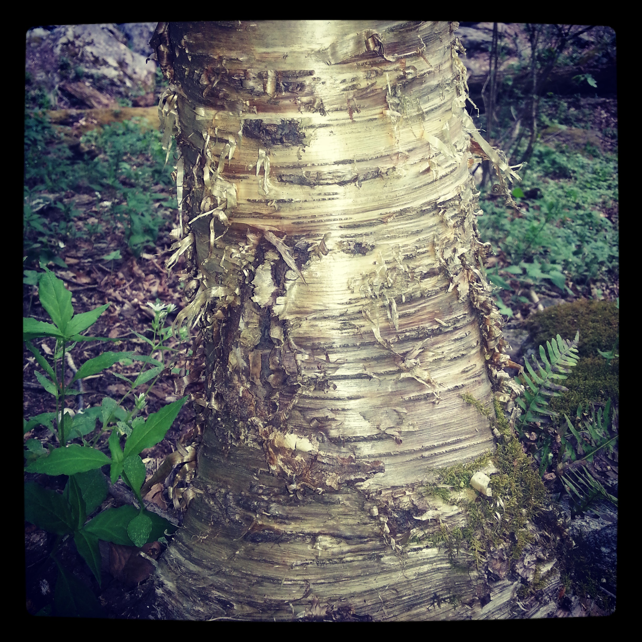 black birch bark