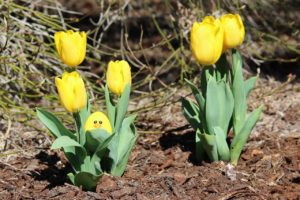 Yellow tulips with yellow smiley face egg in leaves