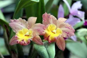Exotic red and yellow orchid