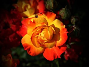 beautiful orange and yellow rose