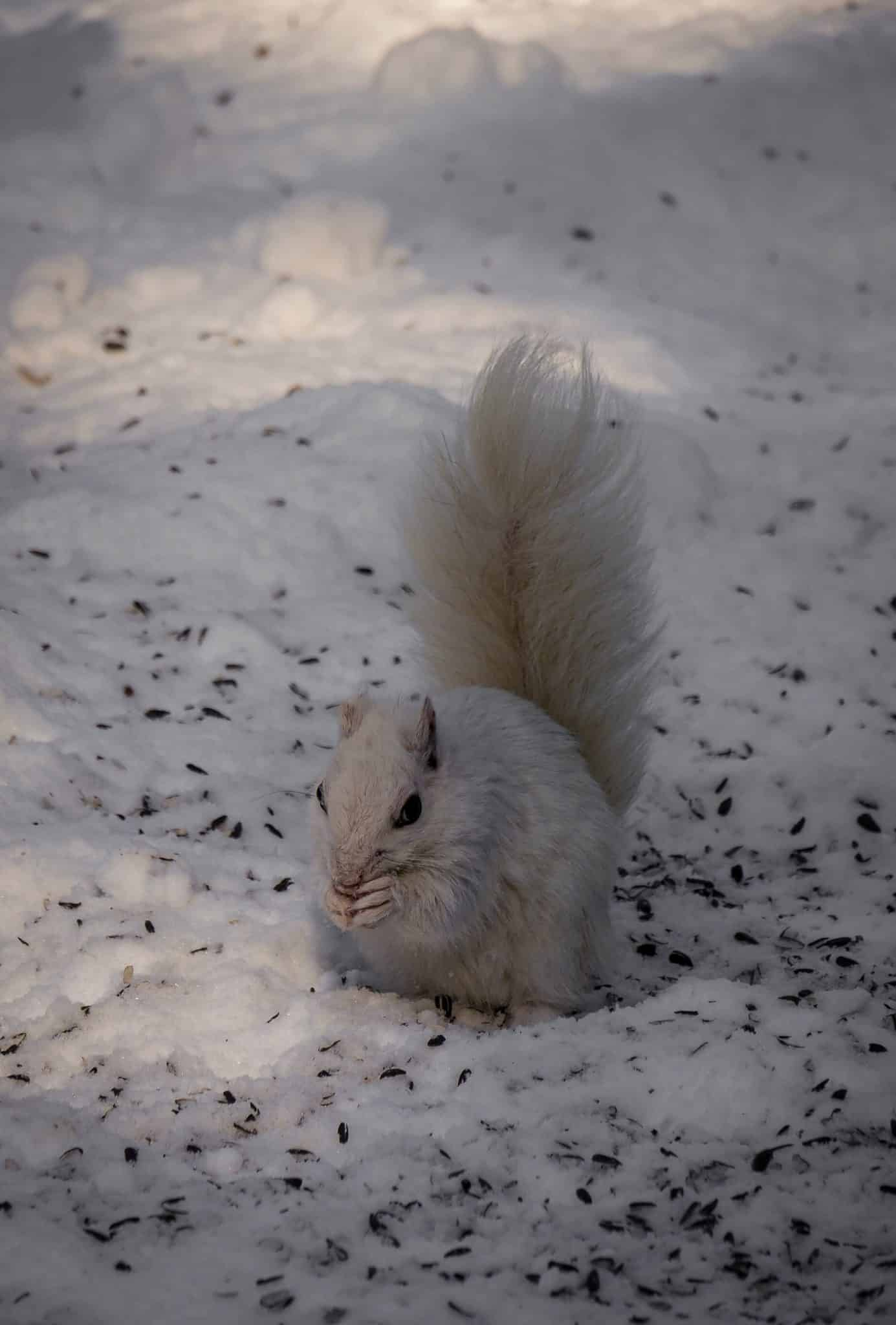 White squirrel in the snow