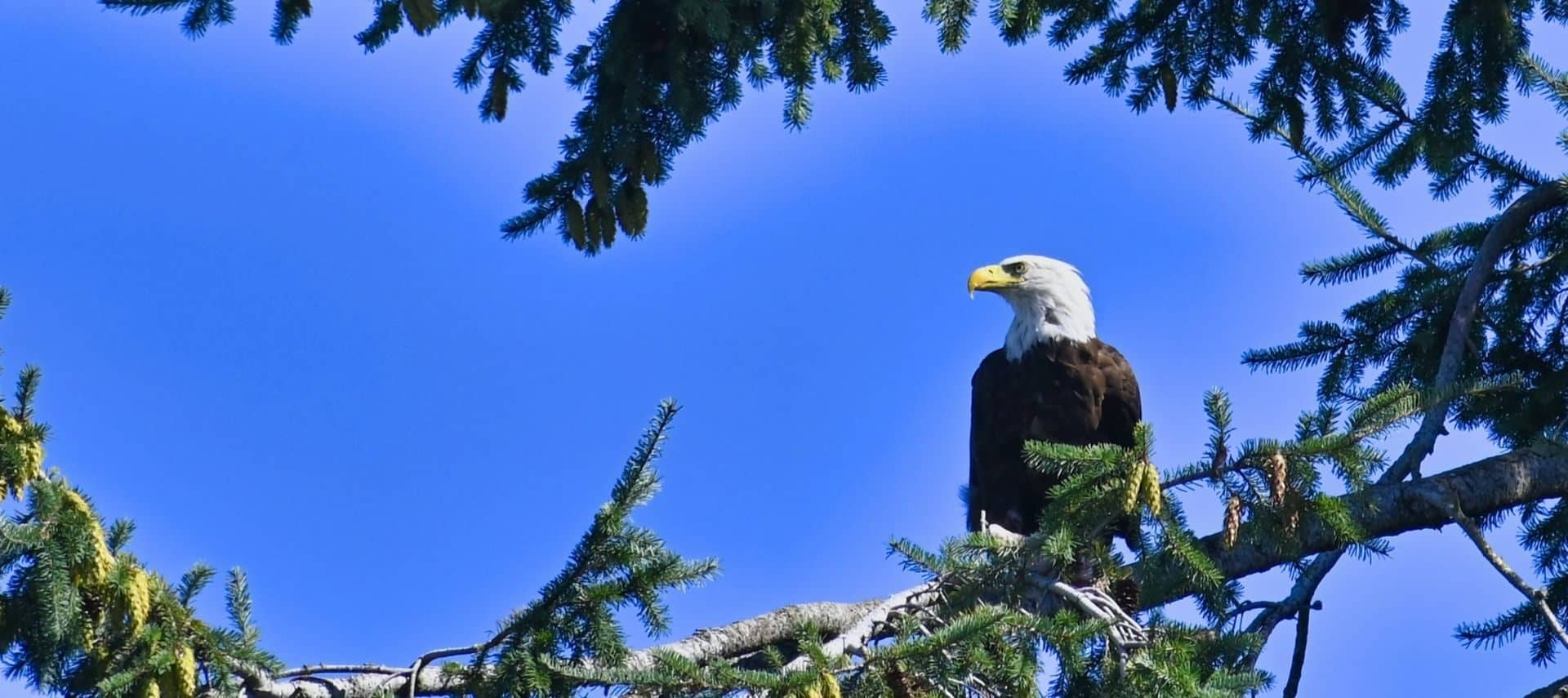 Beautiful bald eagle perched on a tree limb against a brilliant blue sky