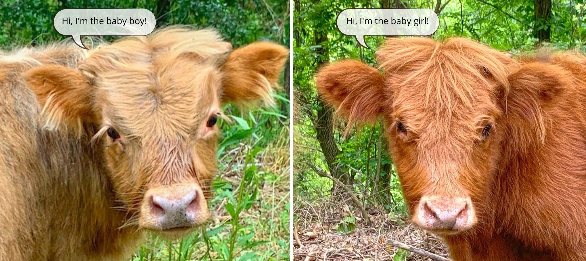 A tan boy cow calf and reddish brown girl cow calf